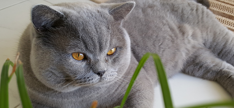 Hali Dorei – British Shorthair | British Shorthair Cat